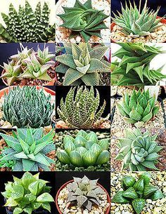 Types Of Succulents Plants, Cacti And Succulents, Planting Succulents, Flowering Succulents, Cactus Seeds, Succulent Seeds, Succulent Care, Large Flower Pots, Cactus Flower