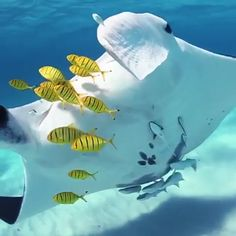 Manta Ray straight out of Finding Nemo 🔥 - Tiere - Animals Underwater Animals, Underwater Creatures, Ocean Creatures, Cute Creatures, Nature Animals, Animals And Pets, Baby Animals, Wild Animals, Beautiful Sea Creatures