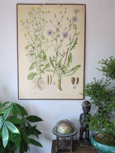 MADE IN PRAGUE IN THE 1950S THIS BEAUTIFUL OLD SCHOOL CHART SHOWS A CHICORY PLANT AND A NIPPLE-WORT THEIR SEEDS, FRUIT, FLOWERS AND PARTS. YOU DO GET A LOT OF ORIGINAL WALL FILLER FOR YOUR MONEY. THEY ARE THEY VERY DECORATIVE, EDUCATIONAL AND INTERESTING, CONVERSATION STARTERS AND REALLY DO BRING A LOT OF STYLE TO ANY ROOM IN THE HOUSE.   eBay!