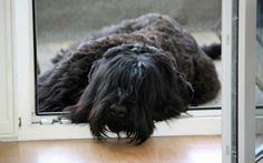 On the balcony Black Russian Terrier, Balcony, Dreadlocks, Hair Styles, Dogs, Bouvier Des Flandres, Dog, Hair Plait Styles, Hair Makeup