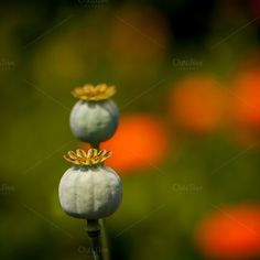 Check out Poppy seed by ChristianThür Photography on Creative Market Nature Photos, Poppy, Seeds, Pumpkin, Vegetables, Check, Creative, Pictures, Photography