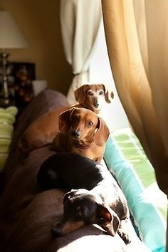 doxies ♥ this is why there's no room on my couch