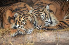 Sweet dreams,Napping Tigers