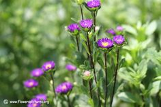 China aster flower (56)