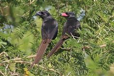 The piapiac (Ptilostomus afer) is an African member of the crow family, and is the only member of the genus Ptilostomus. According to recent findings, it is most closely related to the Central Asian ground jays (