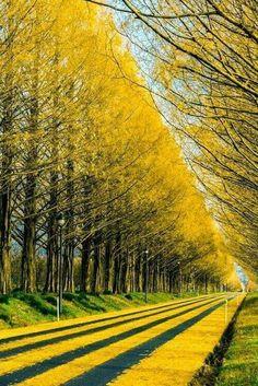"bluepueblo: "" Gingko Tree Highway, Japan photo via perplexed "" Beautiful World, Beautiful Places, Beautiful Pictures, Beautiful Beautiful, Free Photography, Nature Photography, Photography Hacks, Photography Magazine, Editorial Photography"