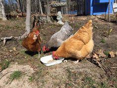 Reprodução - O casal Mark e Jen Tompkins, moradores de uma fazenda no interior do Estado da Pennsylvania, fundaram a Rent-a-chicken, empresa responsável por alugar (sim, alugar) galinhas para clientes que desejam ter ovos frescos sem precisar ir ao supermercado. Por um valor inicial de US$ 350, o casal leva até a casa do cliente um par de galinhas poedeiras, uma gaiola, suplementos alimentares e água para o período do aluguel dos animais, que acontece entre os meses de maio e novembro…