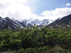 Shrub growth in the Arctic, like these willow in the Kluane region of Canada, have been increasing as the climate has warmed and scientists say this is disrupting snow cover that may cause further climate change