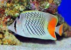 Cross-hatch Pearlscale Butterflyfish