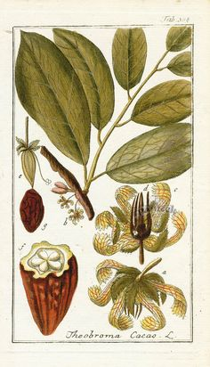 Antique botanical prints from Zorn Theobroma Cacao, Botanical Illustration, Illustration Art, History Of Chocolate, Fairy Food, Cocoa Chocolate, Food Illustrations, Botanical Prints, Hand Coloring