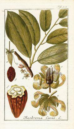 Theobroma cacao, Chocolate / Noms communs :Chocolat, cacao. Nom latin :Theobroma cacao. De la famille :Famille Malvacées, Sterculiacées_contient une forte teneur en magnésium, idéal dans les cas de carence. Les fèves de cacao renferment de la théobromine, qui a pour fonction de développer les performances musculaires. Il agit en diminuant la tension artérielle dans l'hypertension, et apporte une optimisation du volume respiratoire