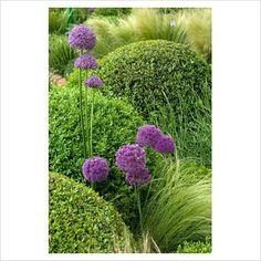 Love this planting combo - especially the Alliums