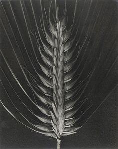 Blossfeldt-Hordeum distichum, Pfauen- oder Reisgerste - Karl Blossfeldt – Wikipedia
