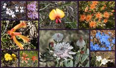 Australian Wildflowers from Tathra National Park, Western Australia via Amazing Australian Adventures (Park is between the towns of Eneabba and Carnamah ) Australian Wildflowers, Australian Flowers, Australian Plants, Australian Garden, Wave Rock, Native Australians, All The Way Down, Months In A Year, 12 Days