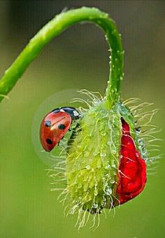 Photo about Close-up of a ladybird on a Poppy bud. Image of insect, ladybird, garden - 21532905 Beautiful Creatures, Animals Beautiful, Cute Animals, Lady Bug, Beautiful Bugs, Beautiful Flowers, A Bug's Life, Bugs And Insects, Tier Fotos