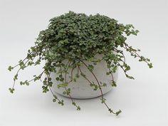 Bilde av PILEA 'GLAUCA GREYZY' Small White Flowers, Green Leaves, Houseplants, How To Dry Basil, Indoor Plants, Roots, Cactus, Succulents, Herbs