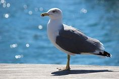 Gull, Seagull, Nature, Sea, Fly, Water