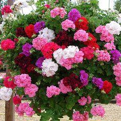 Geranium Rosebud Trailing Collection