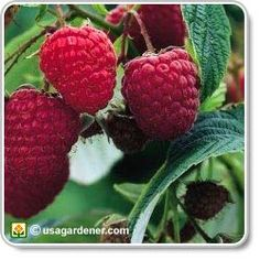 Raspberries - growing Raspberries - how to grow Raspberries