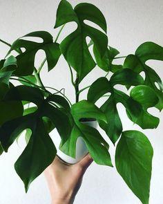Rhaphidophora tetrasperma #rhaphidophora #rhaphidophoratetrasperma #aroidaddicts #plantsmakepeoplehappy #houseplantclub #urbanjunglebloggers #lifearoundplants #botanicalpickmeup #InteriorRewilding #jungleiscoming #plantparenthood #greenery #plantcetera #pausewithplants
