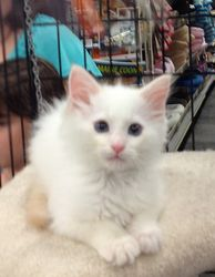 Opt To Adopt Itty Bitty Victoria Kitty Awaits Your Love
