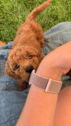 Super Cute Puppies, Cute Baby Dogs, Cute Little Puppies, Cute Funny Dogs, Cute Dogs And Puppies, Cute Funny Animals, Cute Baby Animals, Animals Dog, Goldendoodle Miniature