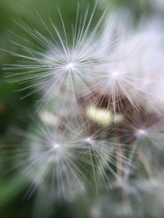 Dandelion photo taken using an iphone5s with the olloclip using the marco lens. No filter and no editing.