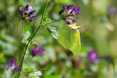 Brimstone Butterfly by Meco. @go4fotos