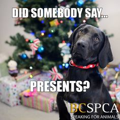 The BC SPCA provincial office will be closed December 25, 26 and January 1. Please note that over the holidays we might not be able to respond as promptly to questions and comments on social media. Thank you for your understanding! We look forward to connecting with you again on Monday.  We wish you and your fur babies a bright and merry holiday!  (Pictured is Kali, who will be dreaming of his forever family over the holidays at the BC SPCA Shuswap Branch)