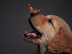 Golden retriever with butterfly on his nose. @Diana Avery Kleven , is he having a bad dream...? :-)