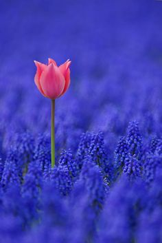 Beautiful single pink flower amongst a sea of blue ♥