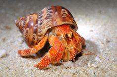 Photograph,Images,video for visual recreation Crab Art, Fish Art, Hermit Crab Shells, Hermit Crabs, Sand Fleas, Auntie Gifts, Sea World, Wedding Humor, Animal Design