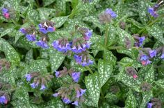 plicnik-lekarsky Plants, Google, Flora, Plant