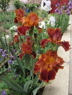 "TB Iris ""Rustler"""