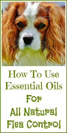 How to use essential oils for natural flea and tick control.