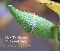 Fall is here and the time has come to harvest mature milkweed seeds from milkweed pods. But how do you separate seeds without making a fluffy, white mess?