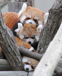 red panda : 円山動物園のレッサーパンダの赤ちゃん