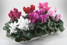 Cyclaam Scholten Pastel MIX - Rael Duijvestijn Potplanten Small Flowers, Bulb, Pastel, Plants, Flowers, Cake, Little Flowers, Onions, Tiny Flowers