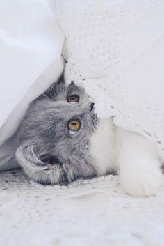Chaton british longhair des British du clos d'Eugénie, gris bicolore bleu et blanc (élevage de british shorthair et longhair). Mannequin : Lynn et Photo : Vanessa Pouzet | Beautiful cat blue and white | British longhair kitten