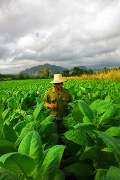 Tobacco farmer on his plantation. Cuba
