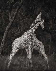 Bid now on Giraffes Battling in Forest, Maasai Mara by Nick Brandt. View a wide Variety of artworks by Nick Brandt, now available for sale on artnet Auctions. Nick Brandt, Amazing Animals, Animals Beautiful, Cute Animals, Wild Animals, Large Animals, Safari Animals, Animal Photography, Amazing Photography