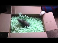 Kathryn Smith captured footage of her ferrets Simon and Garfunkel having a blast while playing in a box full of packing peanuts. Animals And Pets, Funny Animals, Cute Animals, Pet Ferret, Dog Cat, Gato Gif, Cute Ferrets, Animal Rescue Shelters, Fur Babies