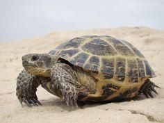 Steppe tortoise (Testudo horsfieldii)