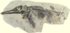 New species of Ichthyosaurus honours Mary Anning.