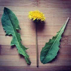 There are so many real uses for dandelions - don't spray them, do this!