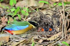 A blue-winged pitta feeds its chicks in their nest on a forest floor in Thailand. Different Birds, Kinds Of Birds, Love Birds, Beautiful Birds, Blue Wings, Big Bird, Little Birds, Birds Of Prey, Bird Species
