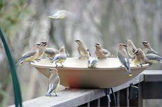 Pandemonium at the bird bath!
