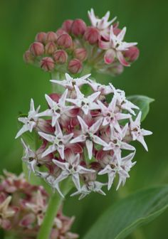Showy Milkweed is a species that is a good Monarch food source.
