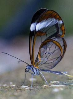 εїз⁀°•.ᗷᘎʈʈᏋᖇƑԼϓ.•°⁀εїз The Glasswinged butterfly (Greta oto) is a brush-footed butterfly, and is a member of the subfamily Danainae, tribe Ithomiini, subtribe Godyridina.