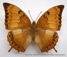 Yellow rajah butterfly